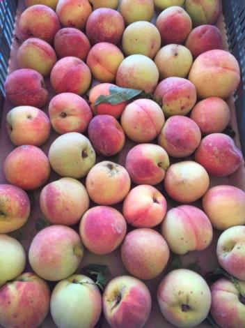 水蜜桃促銷 尖石竹屋吸遊客