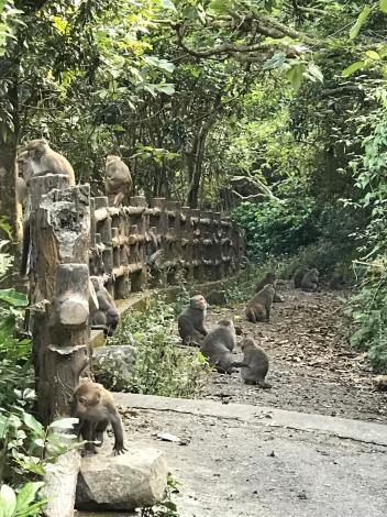 減少台灣獼猴危害農作問題 縣府農業處祭出2種防治手段