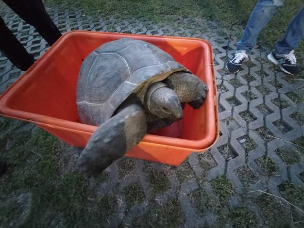 誰家的烏龜走失!? 亞達伯拉象龜誤闖民眾菜園
