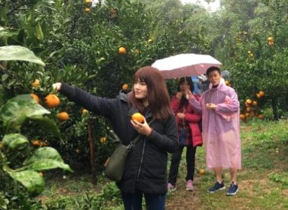 遊客開心體驗採橘.PNG
