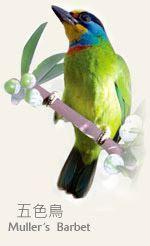 我們的縣鳥 - 五色鳥
